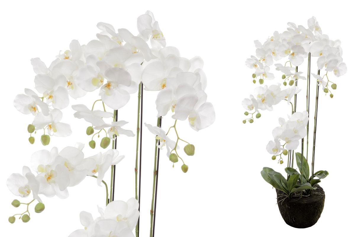 Velkokvětá orchideja.