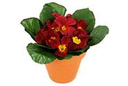 Petrklíč červený v keramickém květináči, umělá květina