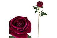 Růže, barva fialová, samet.