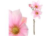 Magnolie, barva růžovo-bílá. Květina umělá.