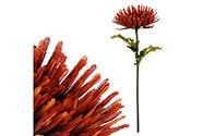 Chryzantéma jednohlavá, barva tmavě červená.