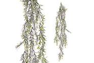 Asparagus převis, v zeleno-fialové barvě.