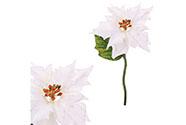 Vánoční růže, poinsécie , barva  bílá