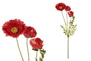 Mák s třemi květy, červená barva.