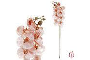 Orchidea velkokvětá, lososová barva.