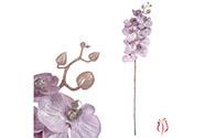 Orchideja velkokvětá, staro-šedivá barva.