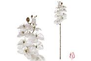 Orchidea velkokvětá, bílá barva.