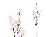 Třešeň větev, růžová barva.
