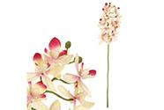 Orchidea drobnokvětá, žluto-růžová barva.