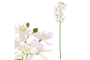 Orchidea drobnokvětá, bílá barva.
