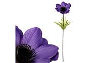 Sasanka, tmavě fialová barva.