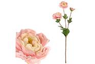 Ranunkulus, světle růžová barva.